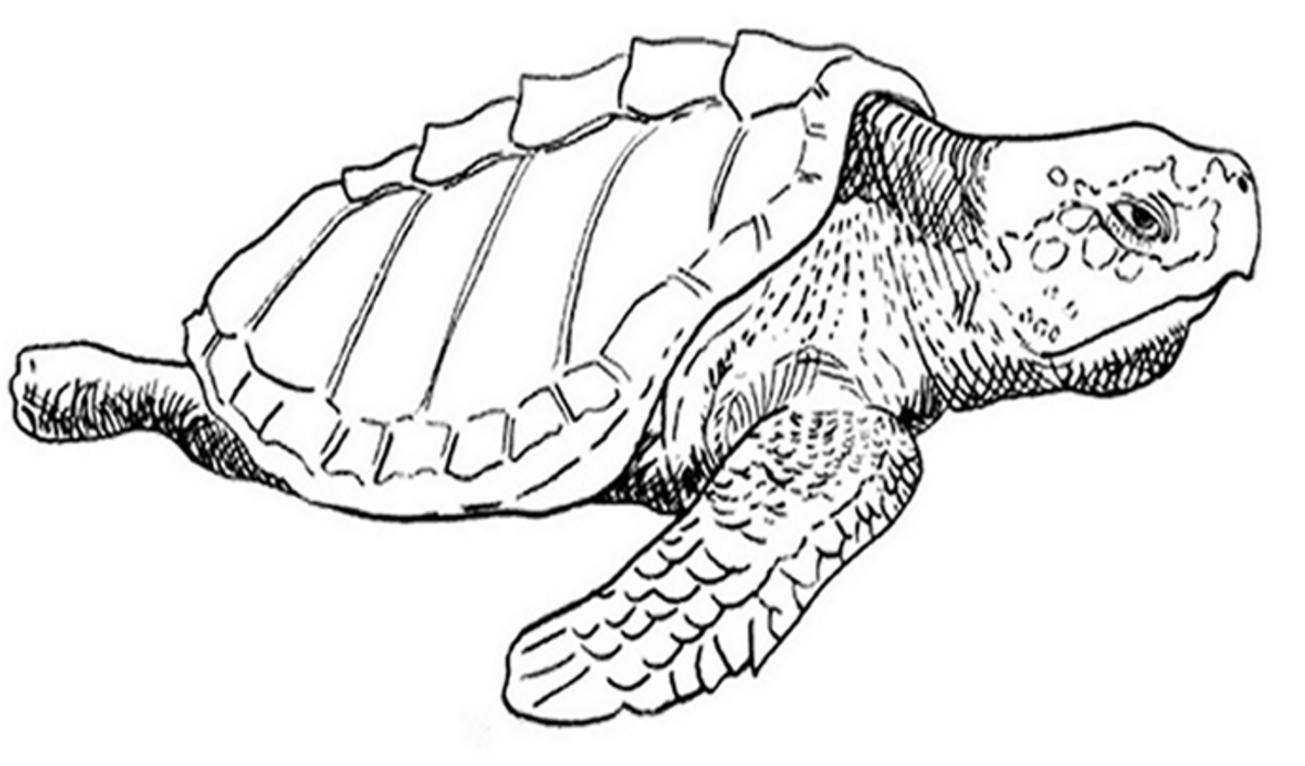 Kids Wild Animals Coloring Pages - Sea Turtles
