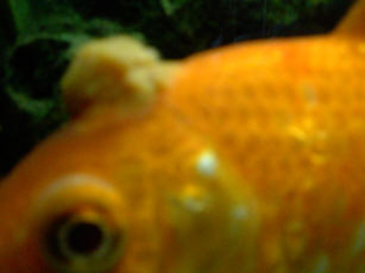 Goldfish with Fungus