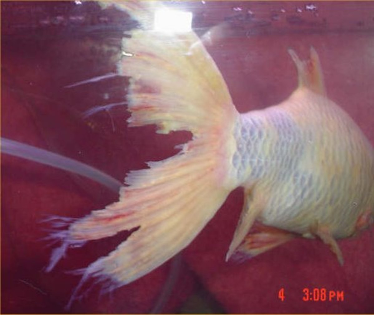 Goldfish with Fin Rot