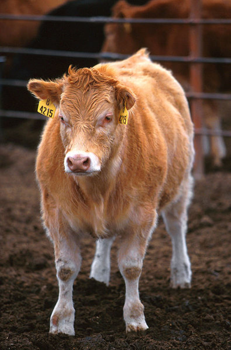 Double-muscled PiedmontesexHereford crossbred calf