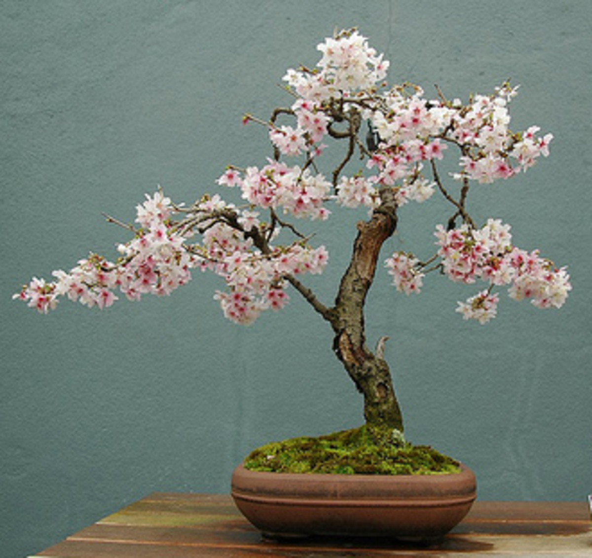 More stylish Upright or Chokkan Style Bonsai