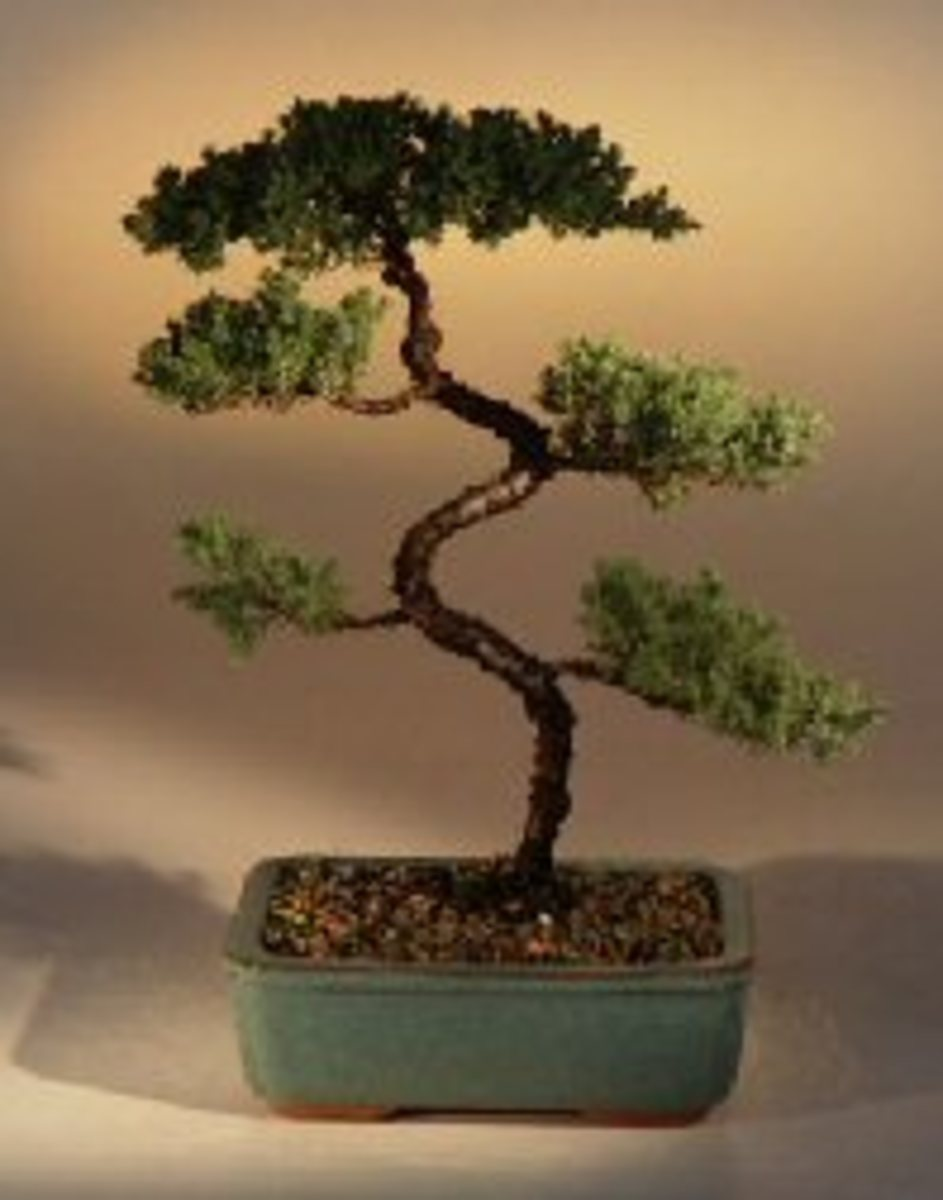 Winding or Kyokkuk Style Bonsai