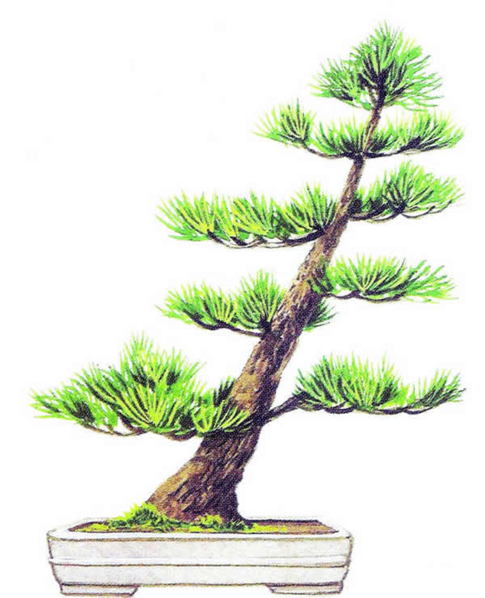 Oblique or Shakan Style Bonsai