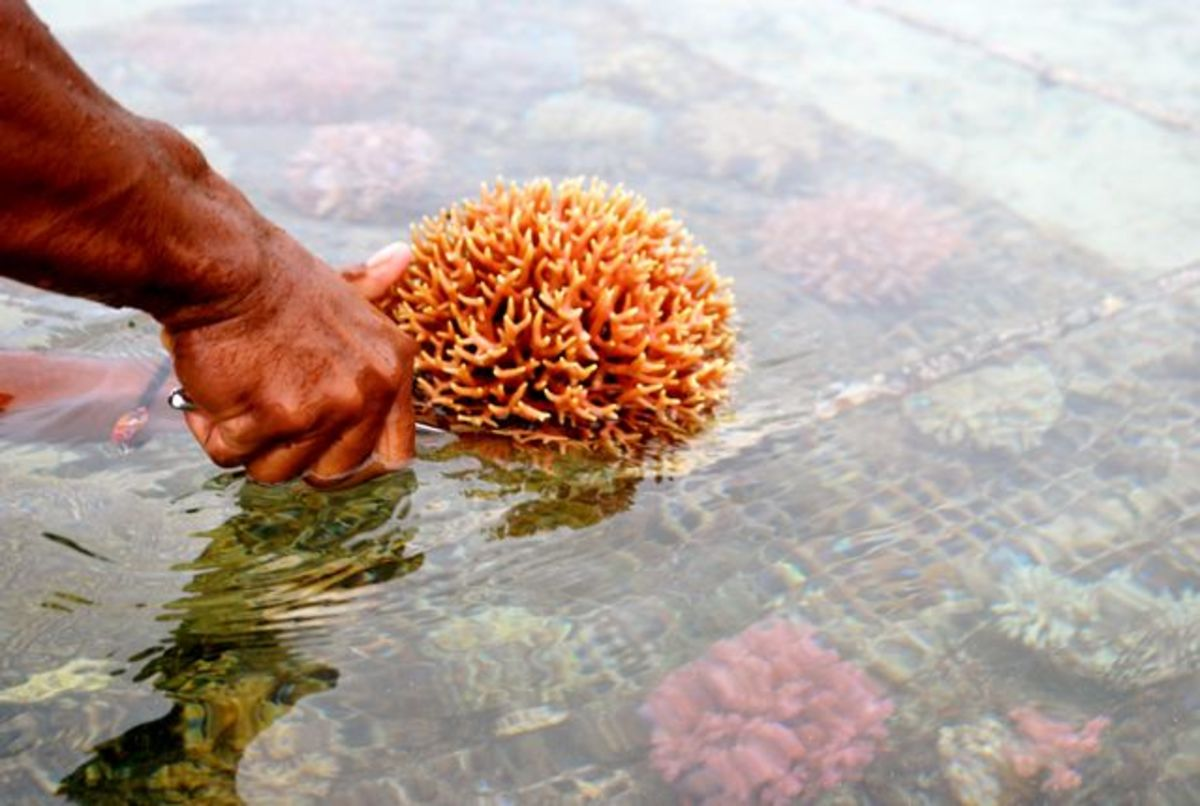 Healthy coral from a coral farm in Fiji