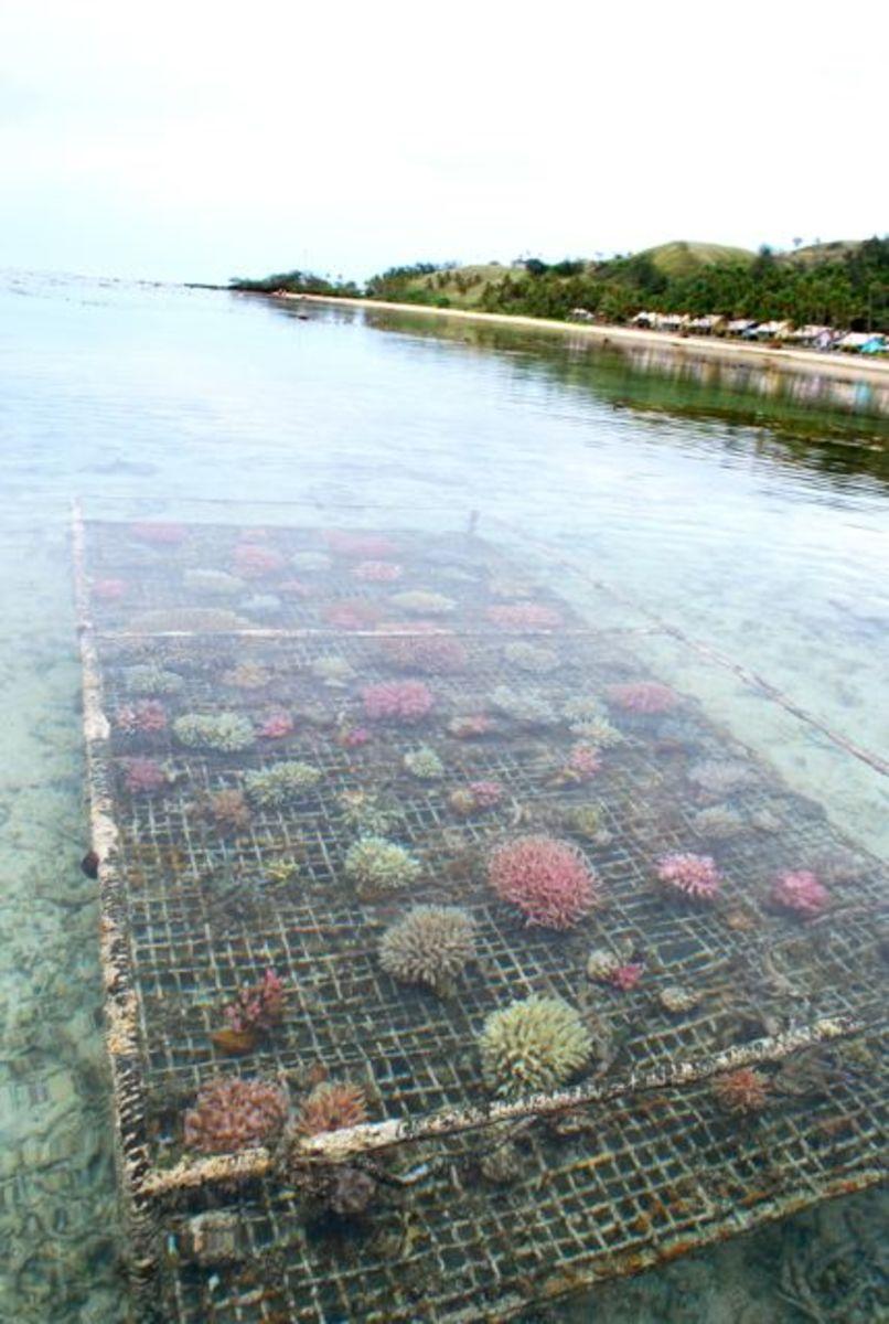 Coral farm along the Coral Coast in Fiji