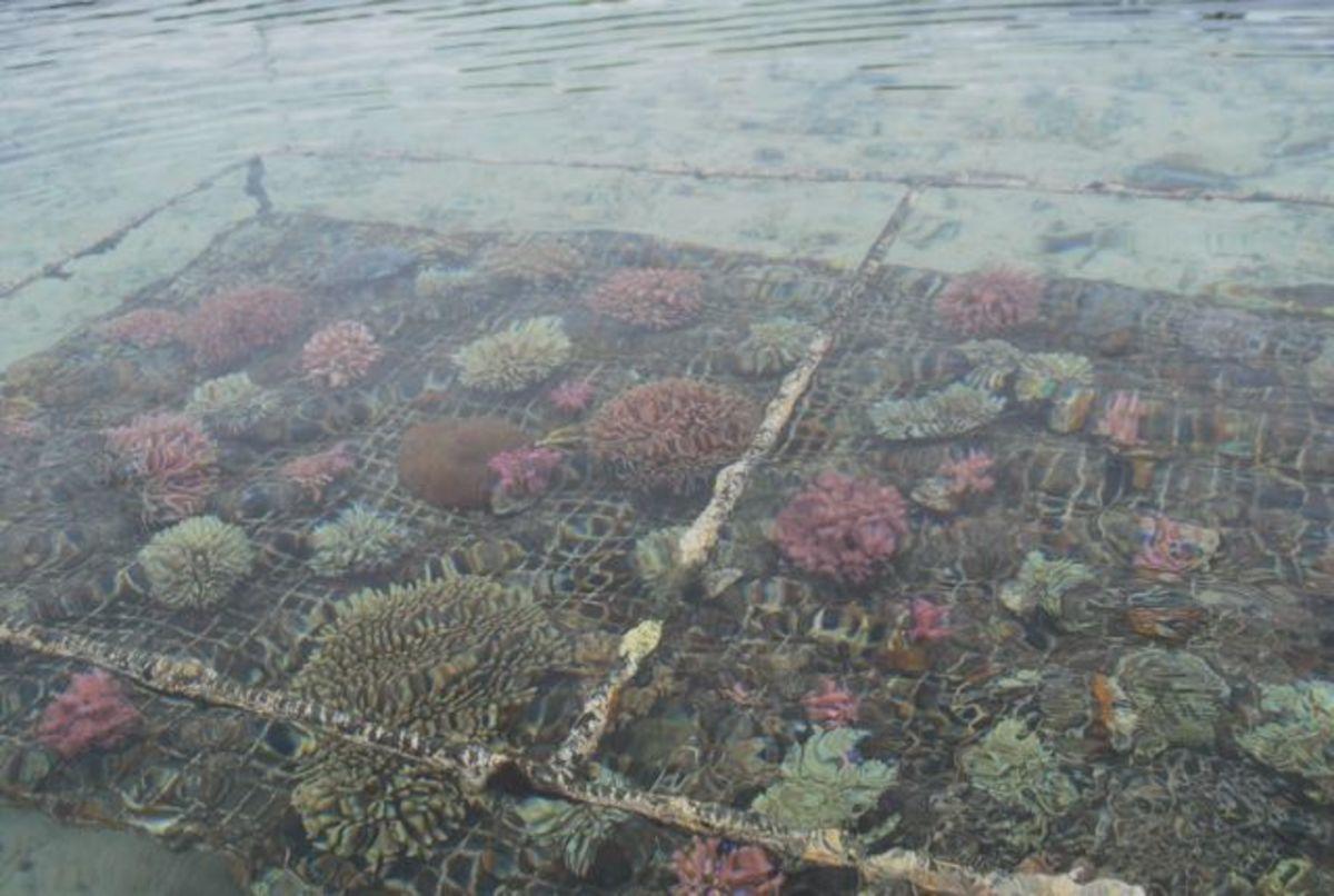 Coral farm near Fiji Hideaway Resort