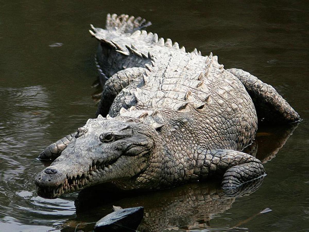 American Crocodile. Image Credit: Toms Castelazo, Wikimedia Commons, GNU Free License