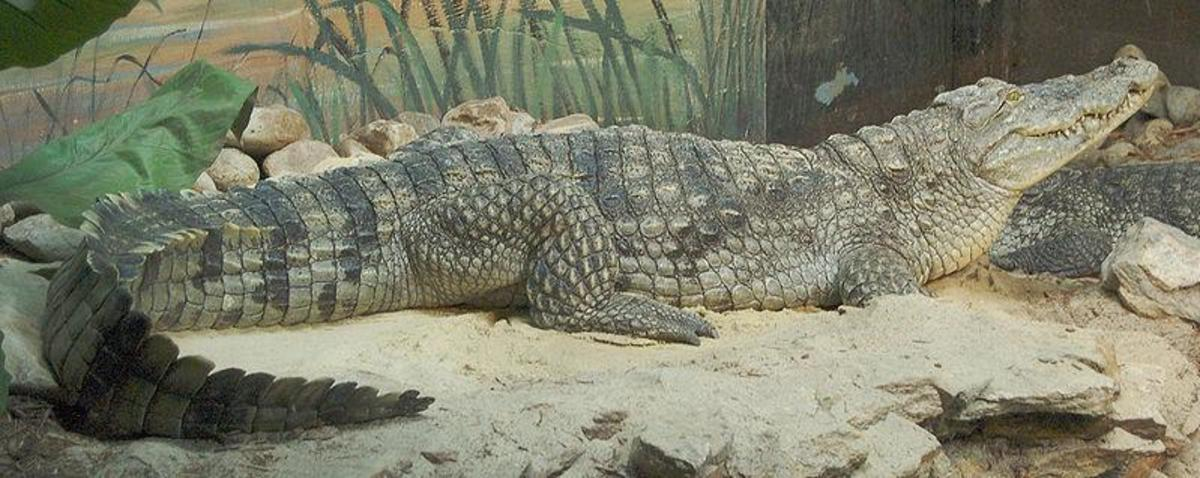 Nile Crocodile kills more people than any other animal. Image Credit: Derek Ramsey, Wikimedia Commons, GNU Free License