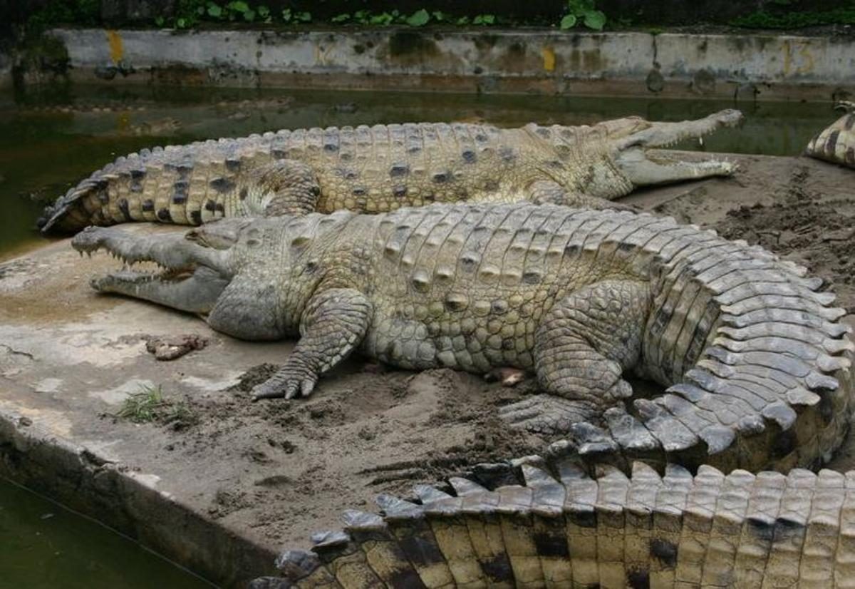Orinoco Crocodile; Image credit: Wikimedia Commons, GNU Free License