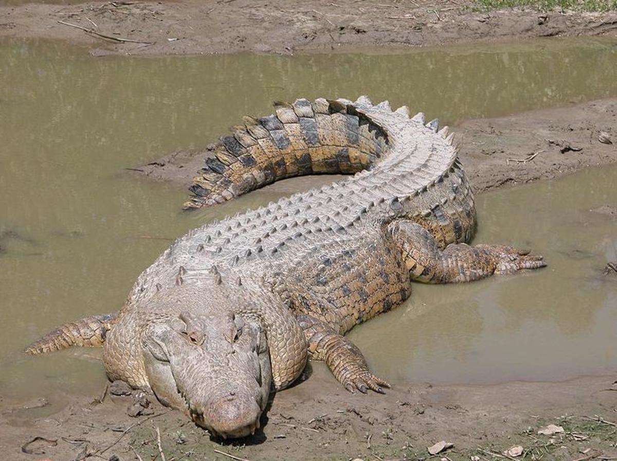 Salt Water Crocodile - the largest crocodile in the world. Image credit: Molly Ebersold, Wikimedia Commons, GNU Free License