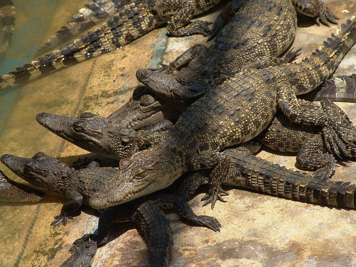 Largest Crocodile Ever Killed A picture of siamese crocodile