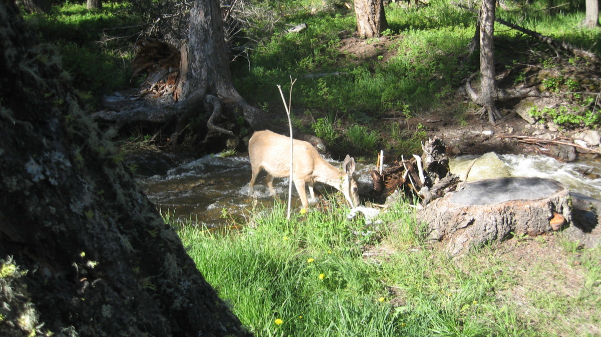 Deer In a Yellowstone Stream Near Roosevelt