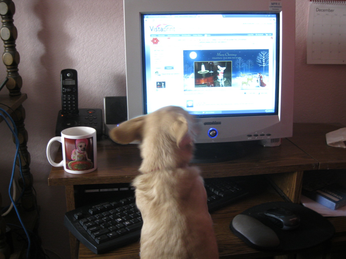The family chihuahua puts finishing touches on her Christmas cards.