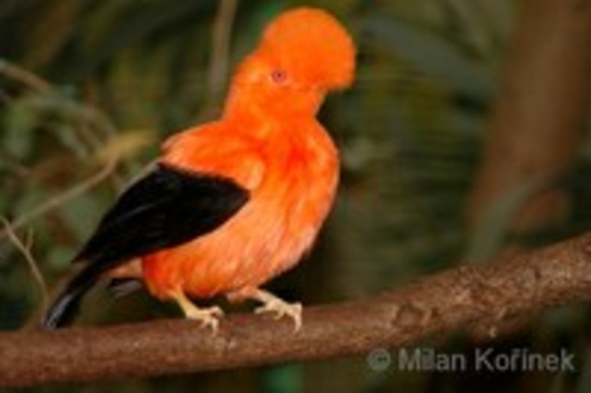 This bird is a Cock of the Rock (Rupicola rupicola), indigenous to the northern part of South America. Its plumage is sought after by salmon fly dressers and collectors