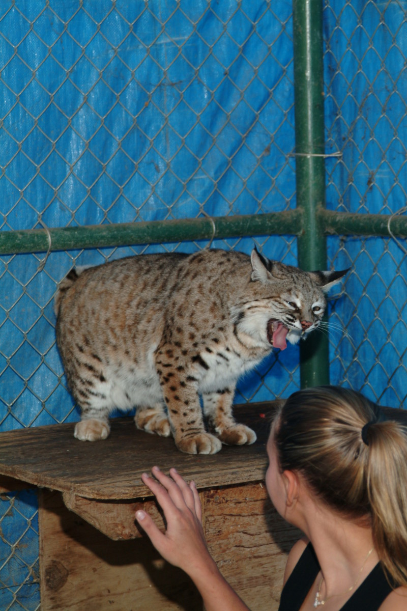 "Inside an isolation enclosure with a ""female Bobcat"" who was not expecting a guest!"