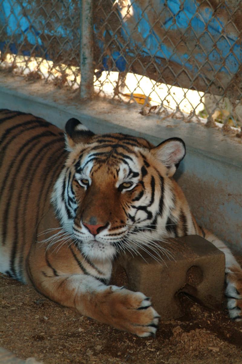 Male Bengal Tiger enjoying a salt-lick in captivity.