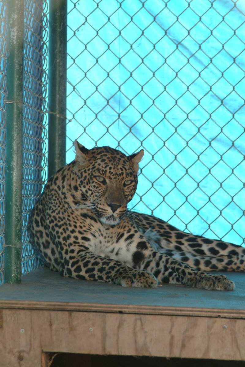 "A ""female Leopard"" in rehab isolation after a minor injury."