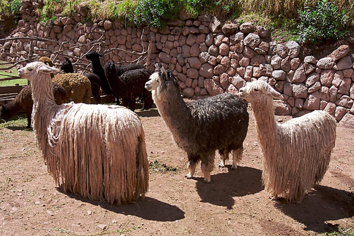 Suri alpaca (white alpaca, front left and right)
