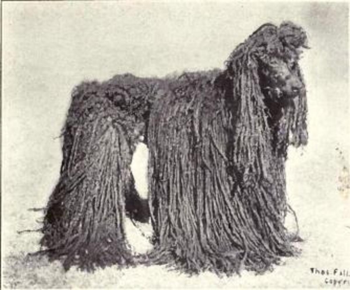 Poodle with corded coat circa 1915