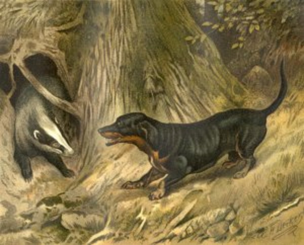 Badger and Dachshund