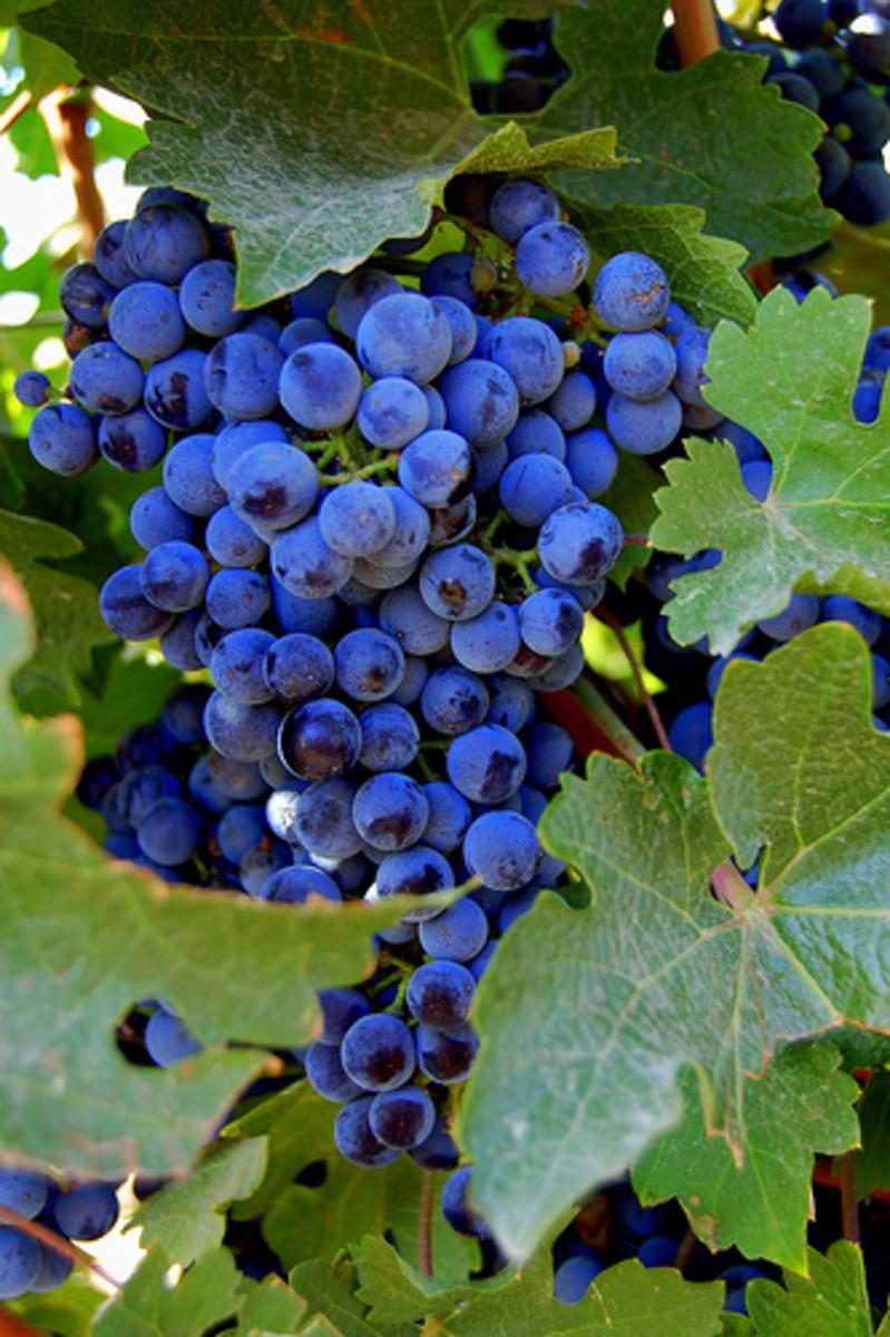"""Wine Grape Cluster"""
