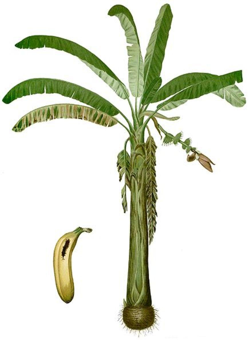 Banana 'tree' (Musa acuminata Colla (AA Group) cv. 'Lacatan') illustration from the 1880 book Flora de Filipinas by Francisco Manuel Blanco, source: Wikipedia