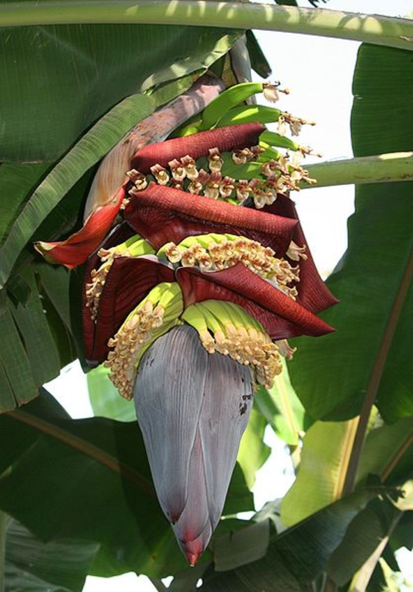 Banana flower, source: Wikipedia