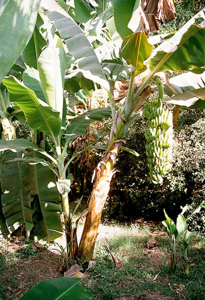 Banana plant, source: Wikipedia