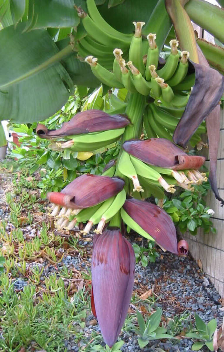 bananas just emerging By littleme_hi, source Photobucket