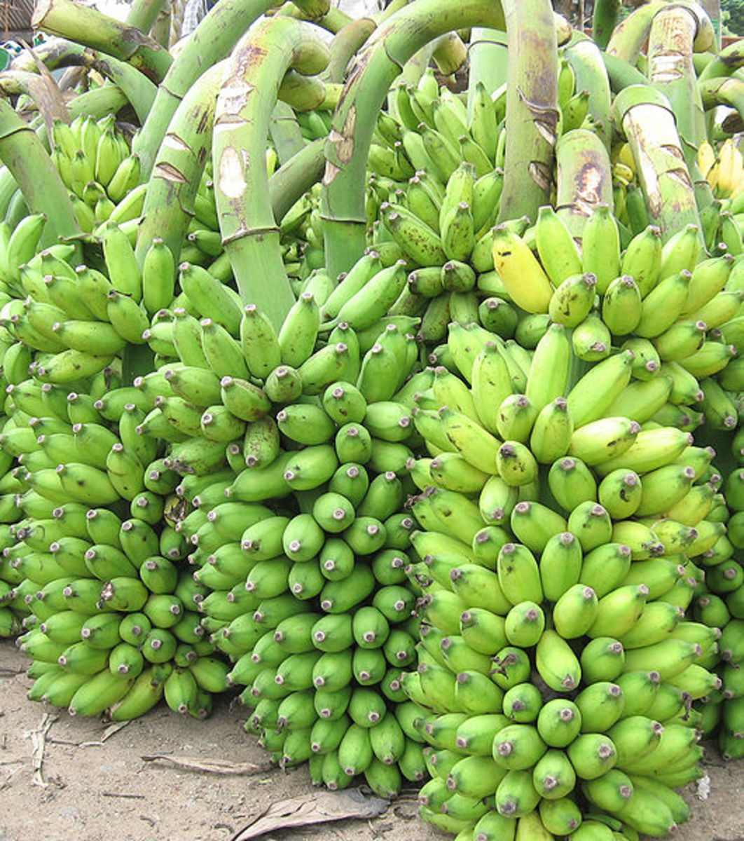 Green bananas, source: Wikipedia