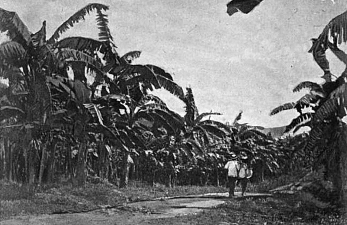 GoldenValePlantation, ca1894, bananas, BostonFruitCo, Jamaica, source: Wikipedia