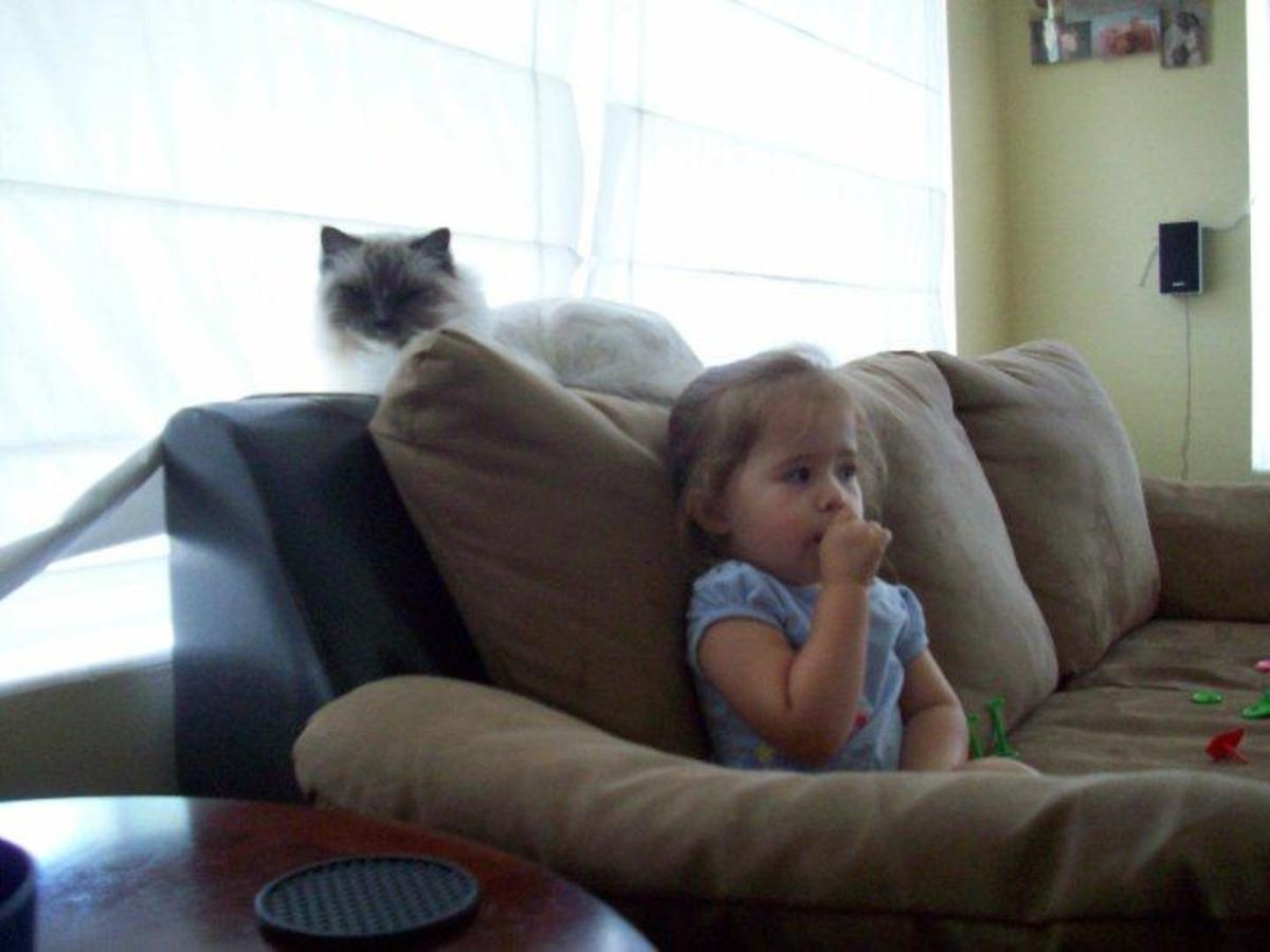 Ragdoll Cats & The Ragdoll Breed: Why To Pick a Ragdoll As a Family Pet