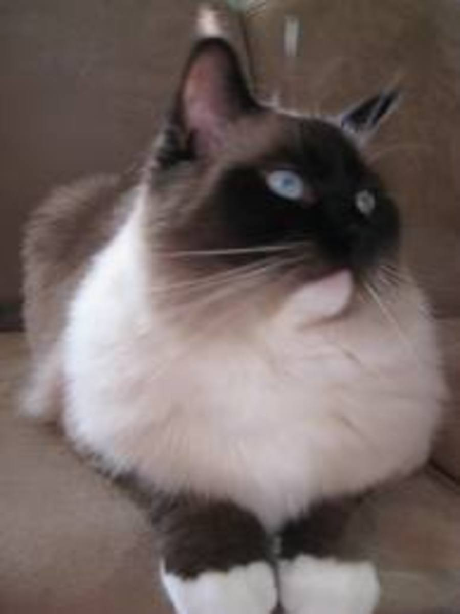 This is not Smeagols but a beautiful Ragdoll nonetheless.
