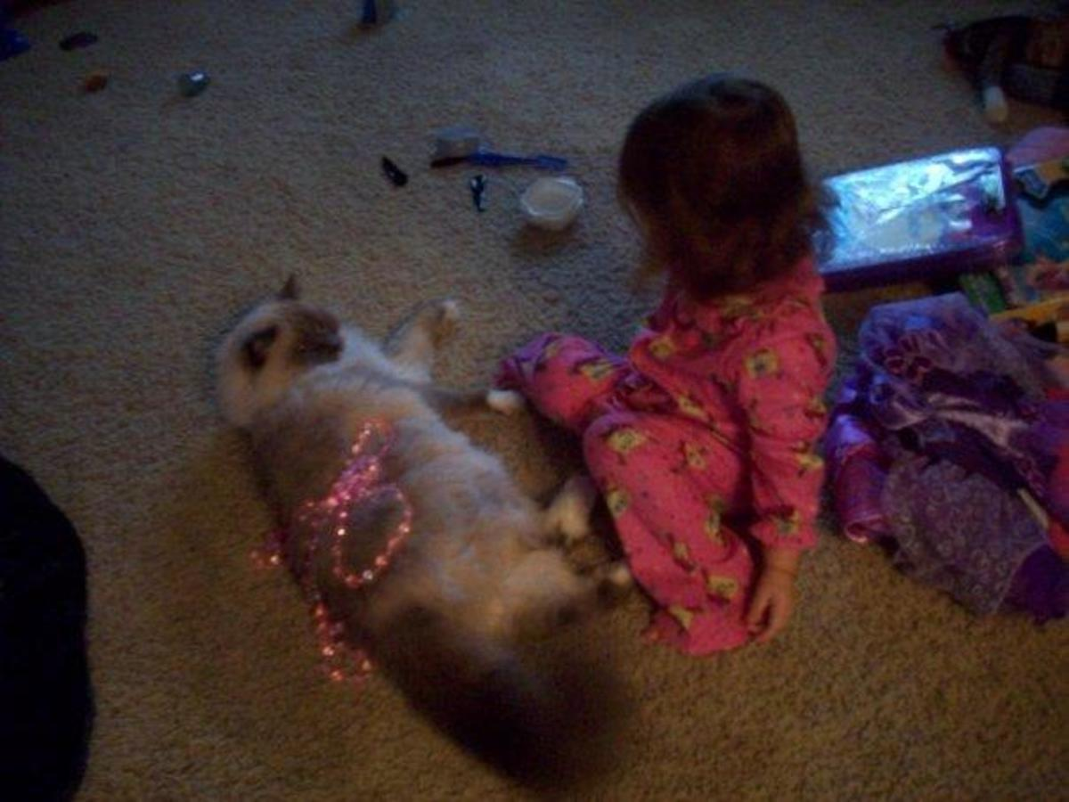 ragdoll-cats-they-seem-to-be-angels-with-fur