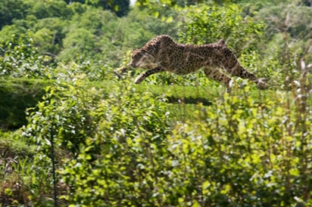 Cheetah by Blackburnphoto  (CC BY-SA 2.0)
