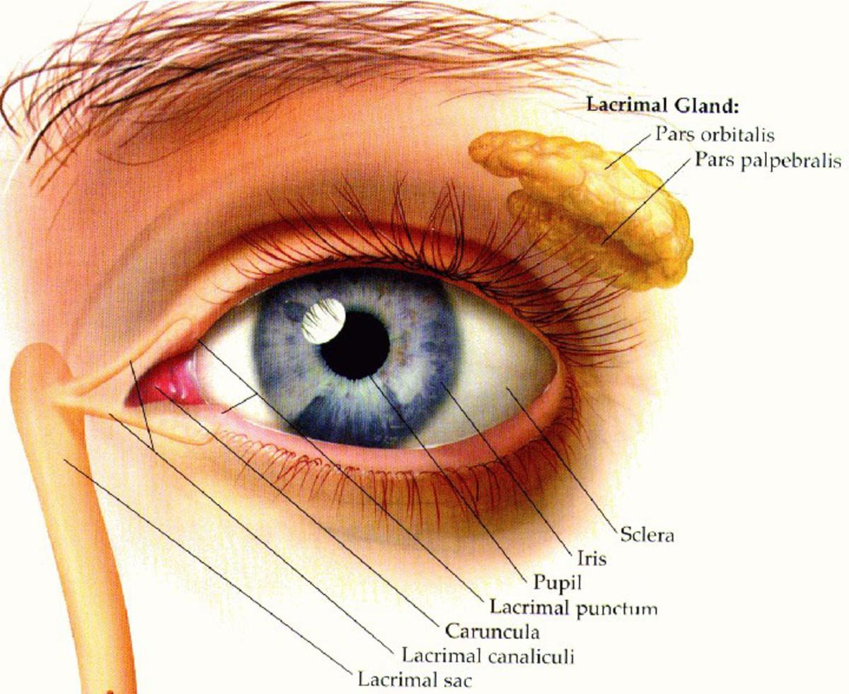 Lachrymal glands