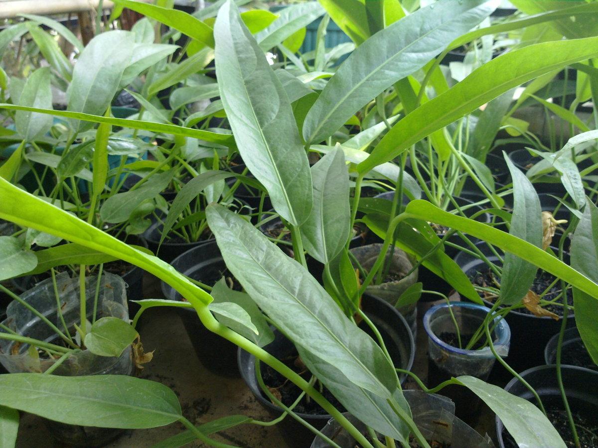 Anthurium Jenmanii at my breeding collections.