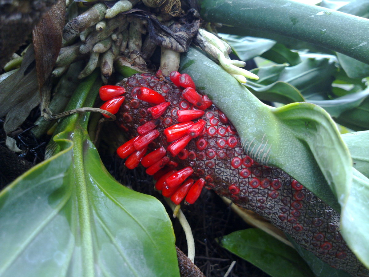 Ripe anthurium berries.