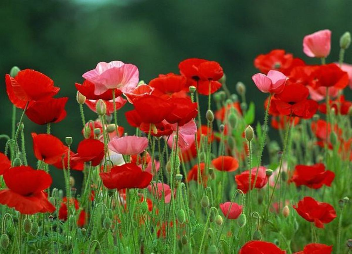 How to grow poppies from seed hubpages mightylinksfo
