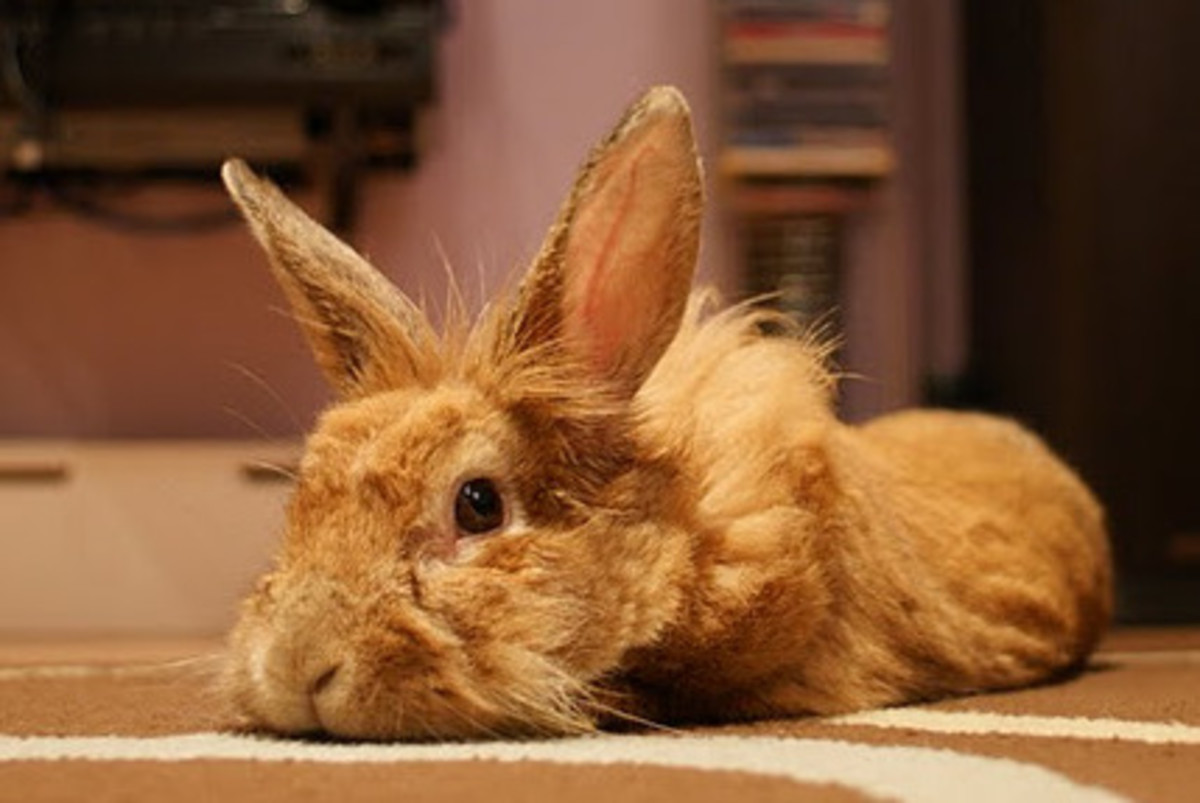 Bunny rabbit often lay their head down flat on the ground when they are tired or just want to rest themselves.