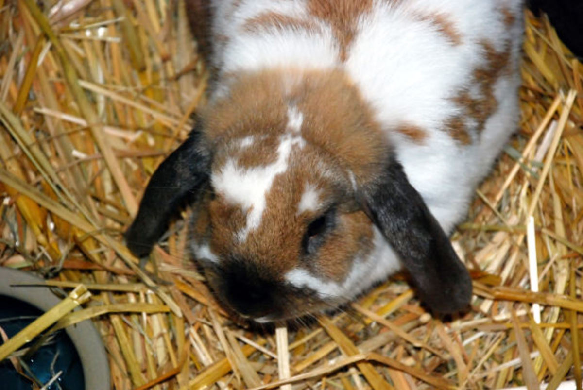 When feeding your bunny rabbit, give them plenty of hay and water. Give them enough pellets each day to help keep their digestive system in good working order.