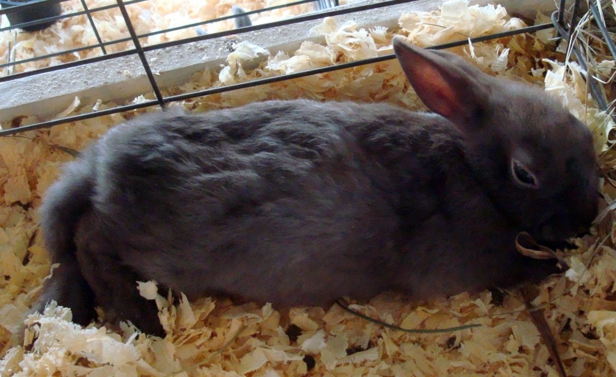 A sleepy mini rex bunny rabbit lying down and relaxing.
