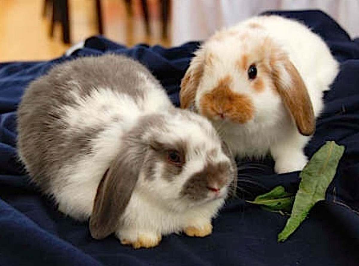 Baby Holland lop rabbits