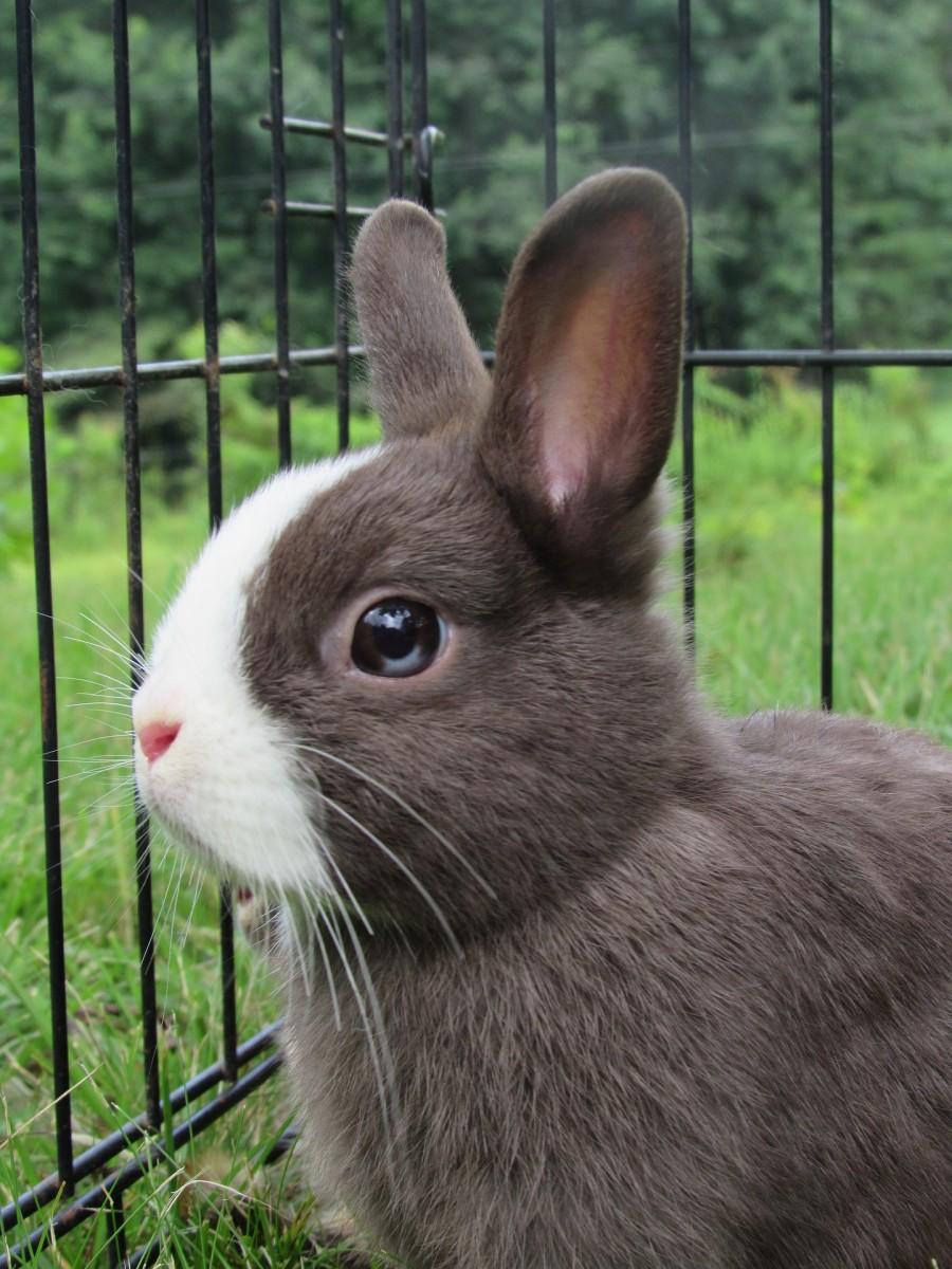 Netherland Dwarf Bunny Rabbit