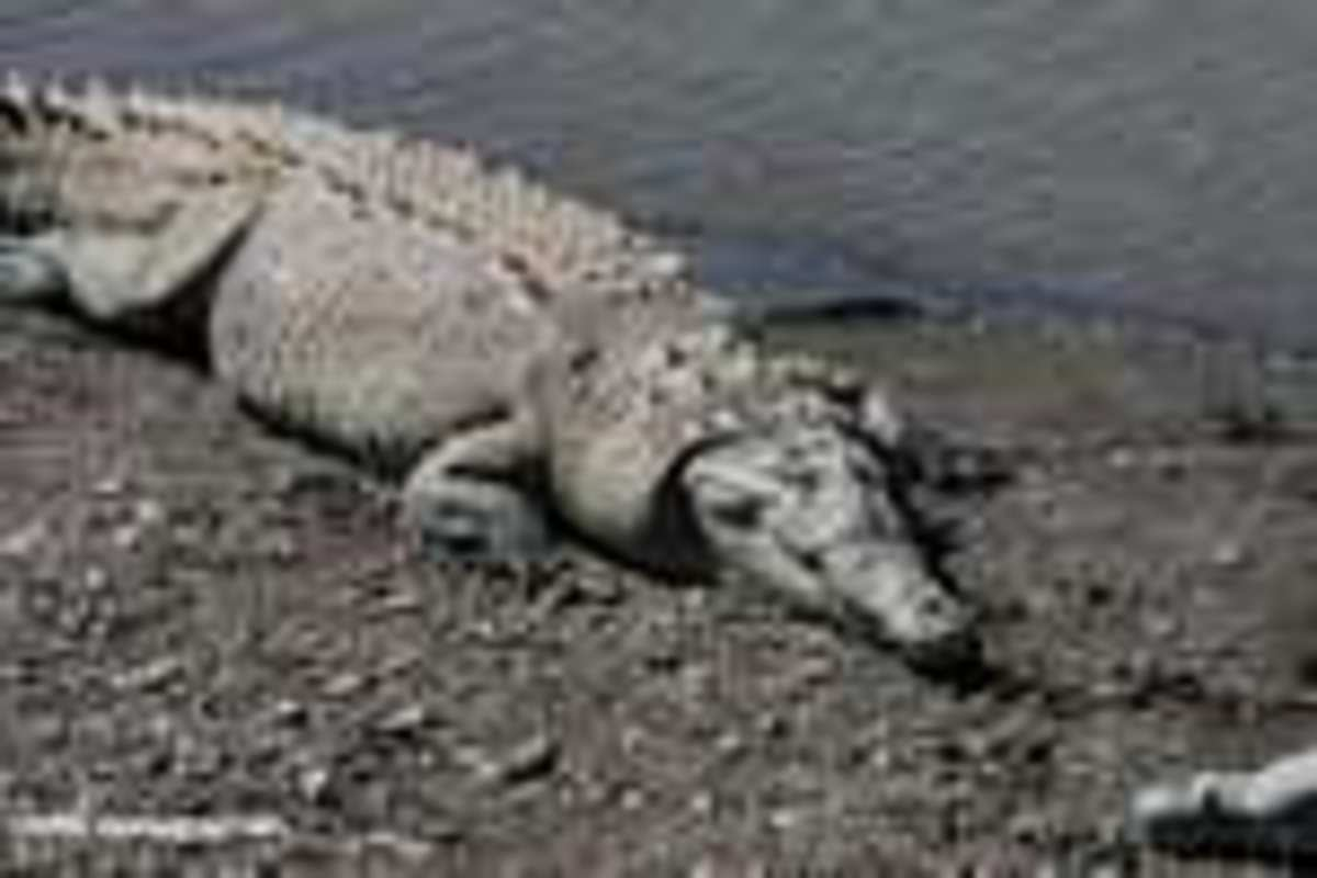 Crocodile (Cocodrillo)