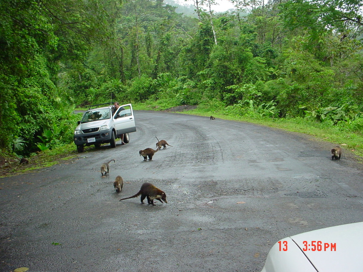 Traffic Jam, Bandidos on the Road Around Lake Arenal.  These are harmless little fellows called Coatis.  They do like to stop the cars to be fed.