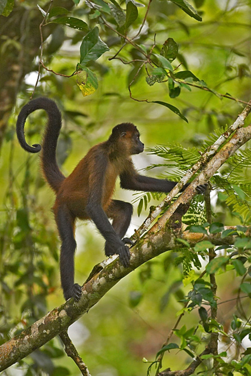Titi or Spider Monkey.  There is also a small one called a Squirel Monkey