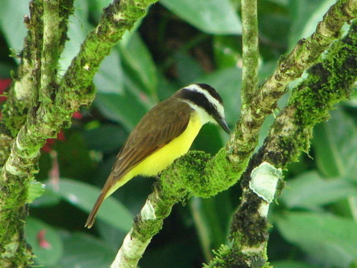 Great Kiskadee. You'll see and hear a lot of these Robin-sized birds.