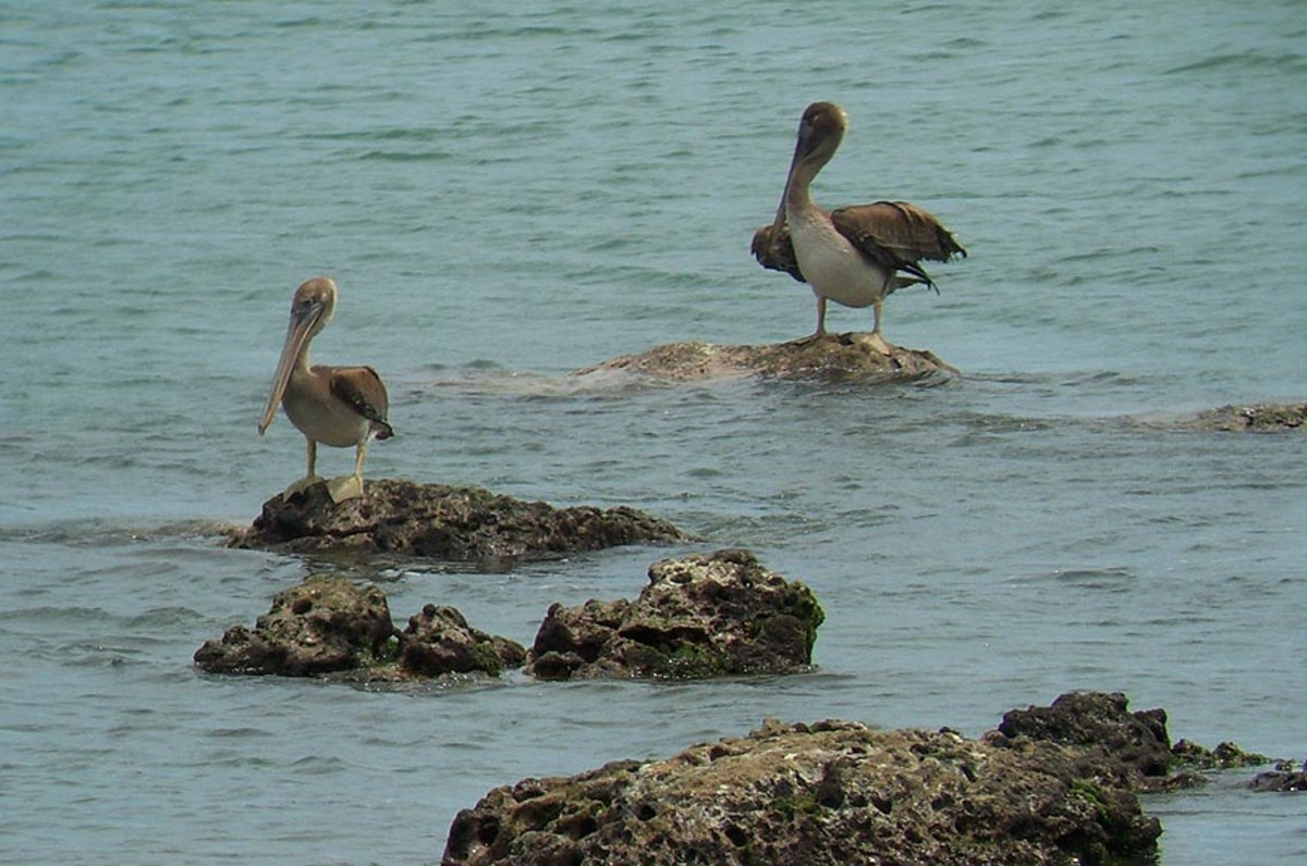 Brown Pelicans.  Watch them fly in a single line formation. low across the water