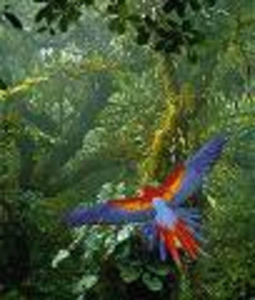 Scarlet Macaw.  One of the really spectacular birds you might get to see.